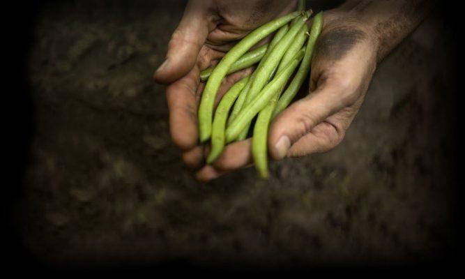 优质四季豆
