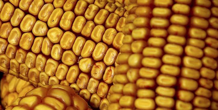 玉米颗粒分选