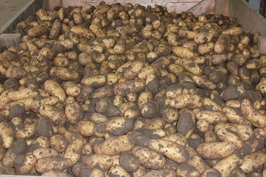 unwashed-potatoes-3