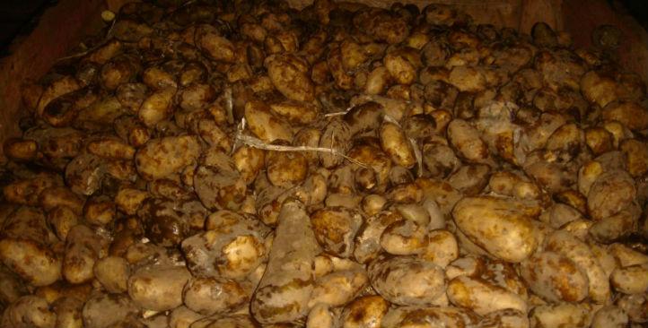 unwashed-potatoes-4