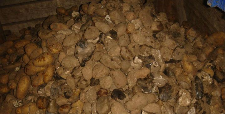 unwashed-potatoes-5