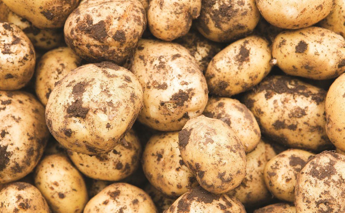 未清洗马铃薯分选