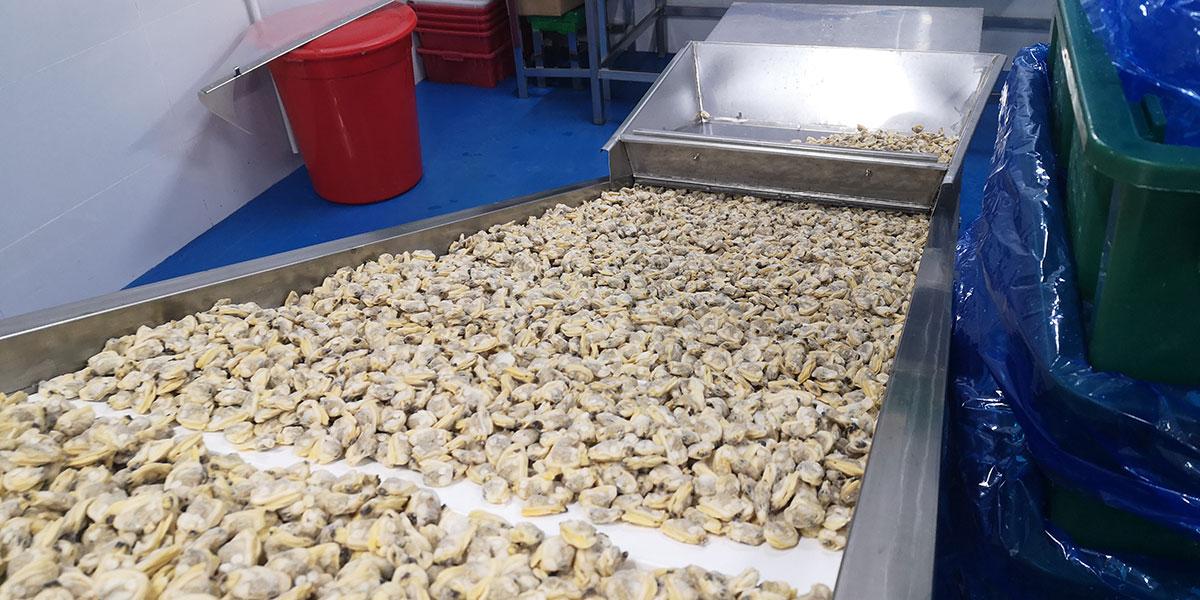 clam-sorting-1